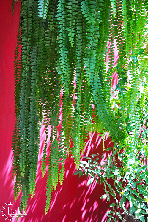Guatemala Plant
