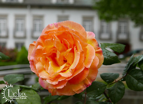 Portugal Rose