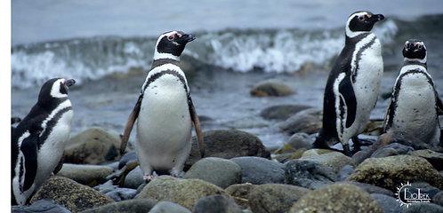Chile Penguins