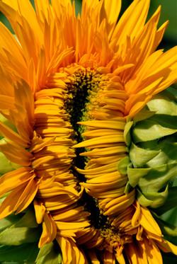 sunflower 46.jpg
