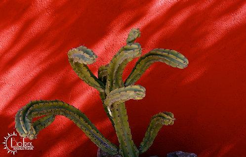 Argentina Cactus