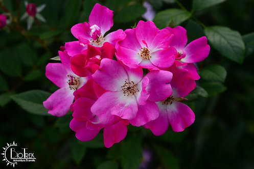 Guatemala Roses