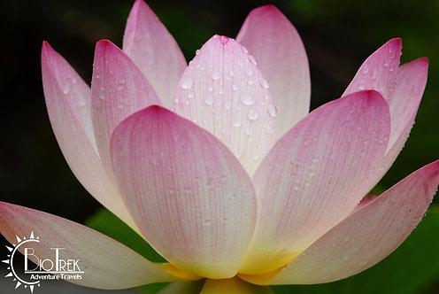 India Lotus