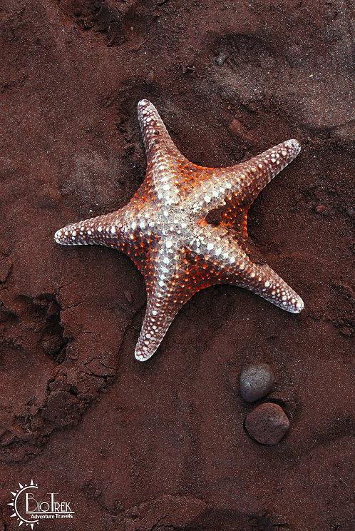 Rabida Island Starfish