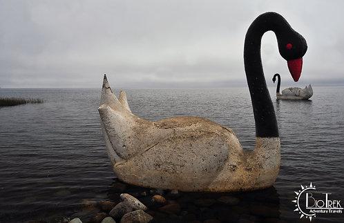 Chile Lake District Swan