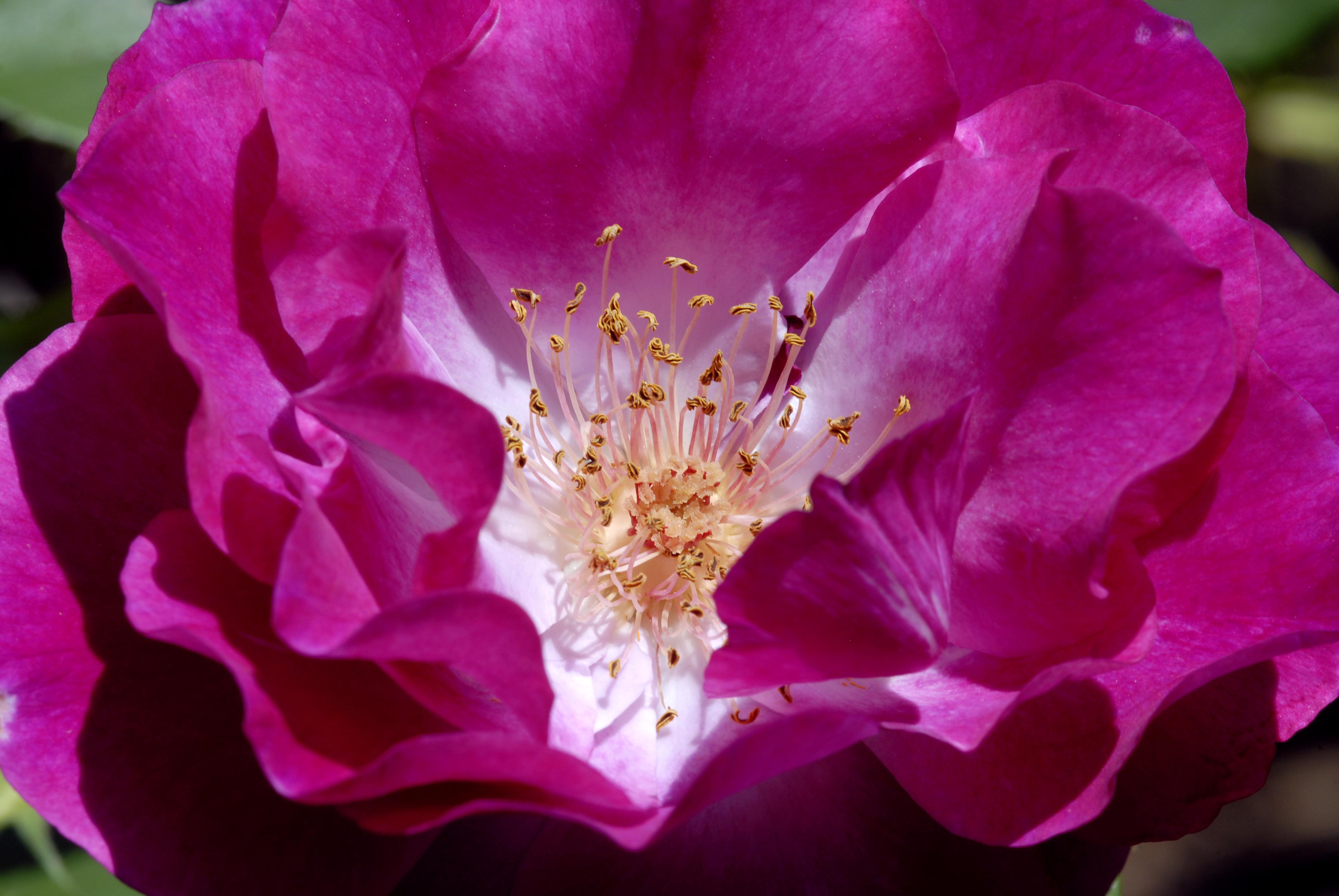 Rose 82.jpg