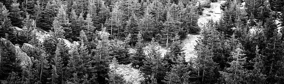 Pine Trees as background image