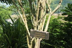 Sappan tree