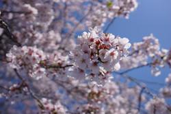 Apr. お花見 at 掃部山公園