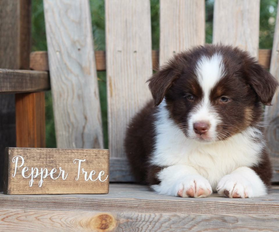 Pepper Tree Australian Shepherds California Aussie Breeders