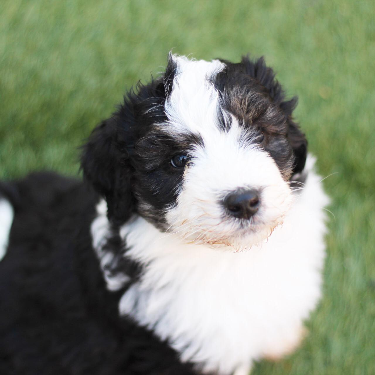 Aussiedoodles for sale San Diego