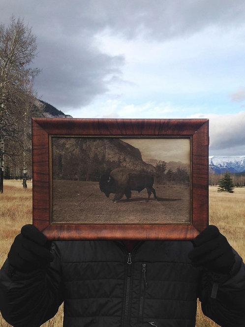 Bison Return