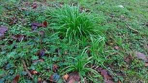 Three Cornered Leek (Allium triquetrium)