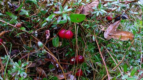 Cranberry (Vaccinium macrocarpon) (3).jp