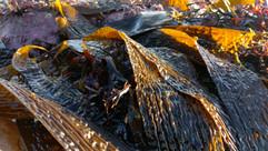 Sugar Kelp (Laminaria saccharina) (3).jp