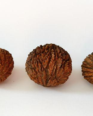Black Walnut (Juglans nigra).jpg