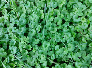 Ground Ivy (Glechoma hederacea) (15).jpg