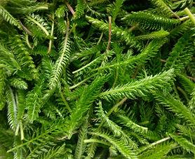 Yarrow (Achillea millefolium) (3).jpg