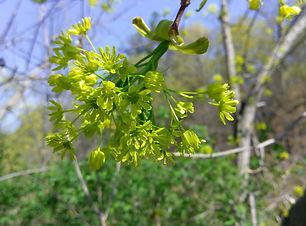 Sugar Maple (Acer saccharum).jpg