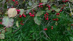 Hawthorn (Crataegus sp. - probably molli