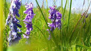 Tufted Vetch (Vicia cracca) (25).jpg