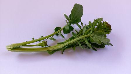 Landcress (Barbarea spp.) (Broccoli).jpg