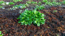 Sea Beet (Beta vulgaris) (11).jpg