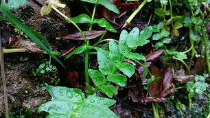 Water Celery (Apium nodiflorum).jpg