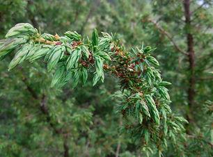 Juniper (Juniperus communis) (3).jpg