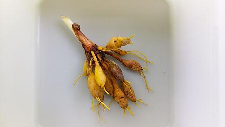Day Lily (Hemerocallis fulva) (4).jpg