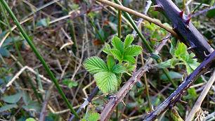 Blackberry (Rubus).jpg