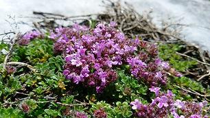 Wild Thyme (Thymus serpyllum) (5).jpg