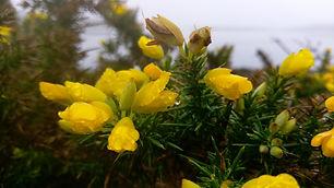 Gorse (Ulex europaeus) (2).jpg