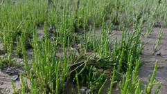 Marsh Samphire (Salicornia sp) (2).jpg