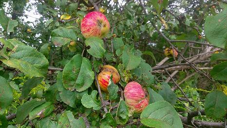 Feral Apple (Malus sp.).jpg