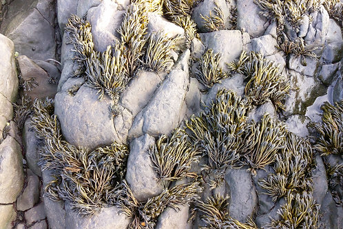 Dried Channelled Wrack