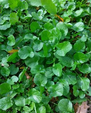 Landcress (Barbarea vulgaris).jpg