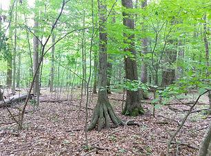 Birch (Betula sp).jpg