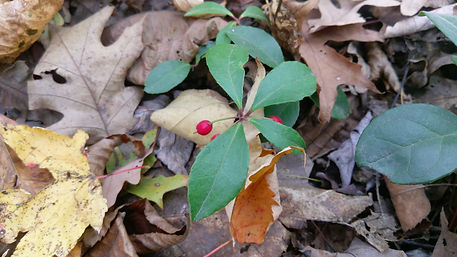 Wintergreen (Gaultheria procumbens) (2).