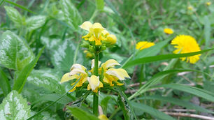 Yellow Archangel (Lamium galeobdolon).jp