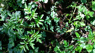 Wild Angelica (Angelica sylvestris) (5).