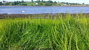 Sea Arrowgrass (Triglochin maritima) (2)