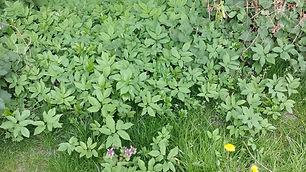 Ground Elder (Aegopodium podagraria)(2).