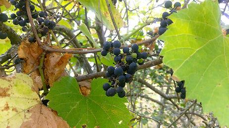 Wild Grape (Vitis riparia) (18).jpg