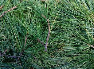 White Pine (Pinus strobus).jpg