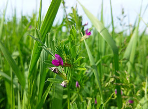 Spring Vetch (Vicia sativa) (2).jpg