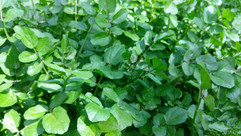 Wild Watercress (Nasturtium officinale)