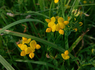Bird's Foot Trefoil (Lotus corniculata)