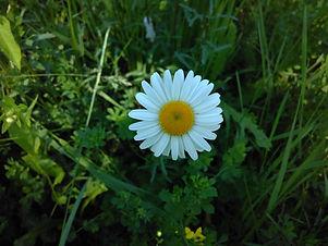 Ox Eye Daisy (Leucanthemum vulgare) (5).