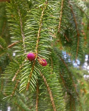 Norway Spruce (Picea abies) (4).jpg